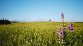 Single lonely tree. Lonely tree on a meadow with lupine  foreground, rack focus stock video footage