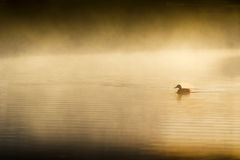 Single Lonesome Duck Swims Quietly At Sunrise On Mistly Lake Royalty Free Stock Images