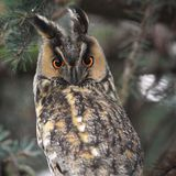 Single Long-eared Owl bird on a tree branch in a forest during a. Spring period Royalty Free Stock Photo