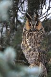 Single Long-eared Owl bird on a tree branch in a forest during a. Spring period Royalty Free Stock Photography