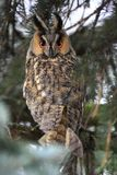 Single Long-eared Owl bird on a tree branch in a forest during a. Spring period Stock Photos