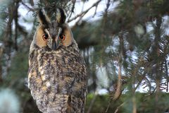 Single Long-eared Owl bird on a tree branch in a forest during a. Spring period Stock Image