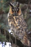 Single Long-eared Owl bird on a tree branch in a forest during a. Spring period Stock Photography