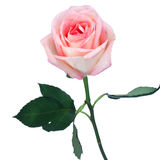 Single long-stemmed perfect pink rose Stock Images