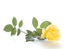 A Single Long Stemmed Yellow Rose on White Background.  Stands for joy, happiness and friendship. Stock Photography