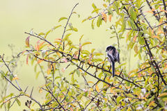 Single Long Tailed Tit (Aegithalos caudatus) perching in a black Royalty Free Stock Image