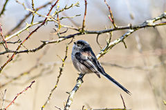 Single Long Tailed Tit (Aegithalos caudatus) perching in a bush Stock Images