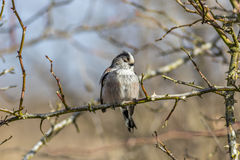 Single Long Tailed Tit (Aegithalos caudatus) perching in a wild Royalty Free Stock Images