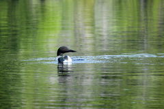 Single Loon in the Lake Stock Photo