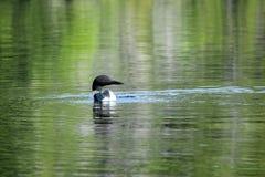 Single Loon in the Lake Stock Photo