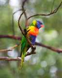 Single lorikeet Stock Photography