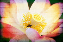 Single Lotus for background use Royalty Free Stock Image