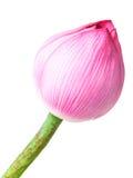 Single lotus buds Royalty Free Stock Photo