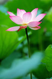 Single Lotus Flower Between The Greed Lotus Pads Stock Photo