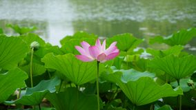 A single lotus flower and a bud are standing in pond. A pink lotus flower and bud are standing in water in summer.the flower is colorful and the leaves are green stock image