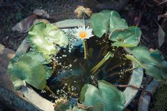 Single Lotus flower Stock Photography