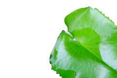 Single Lotus leaf Royalty Free Stock Images