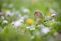 Single lovebird parrot in the meadow. A beautiful single lovebird parrot in a meadow full of flowers with wonderful colors and plumage Royalty Free Stock Photo