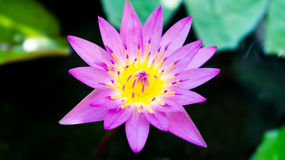 Single lovely lotus in the pool. Single blossom lovely pink lotus in the pool Royalty Free Stock Photos