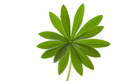 Single lupine leaf with water drops Stock Image