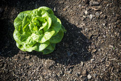 Single lush green lettuce growing in rich soil Stock Images