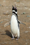 Single Magellanic Penguin Stock Images