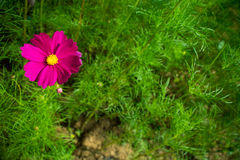 Single magenta flower in contrast color concept. Single magenta pink cosmos surrounded by green leaves. contrast color in concept. Vivid flower for background Royalty Free Stock Photos