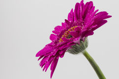 Single Magenta Gerbera with rain drops. Side view on white background Royalty Free Stock Image