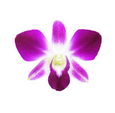 Single magenta orchid flower isolated Stock Images