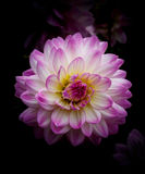 Single magenta and white decorative dahlia Stock Image