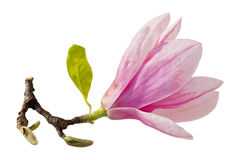 Single Magnolia Royalty Free Stock Image