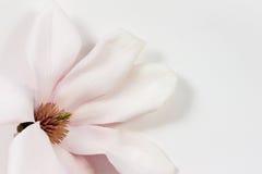 Single magnolia flower on white paper Stock Photos