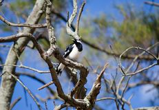 Single Magpie-lark bird on a branch of the tree at a forest in Australia. A Single Magpie-lark bird on a branch of the tree at a forest in Australia royalty free stock photography