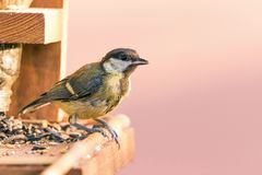 Single male blue tit perched on bird feeder with few kinds of seeds Royalty Free Stock Photography