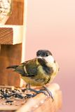 Single male blue tit perched on bird feeder with several kinds of seeds Stock Photo