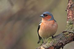 Single male Chaffinch bird on a tree branch. During a spring nesting period Royalty Free Stock Image