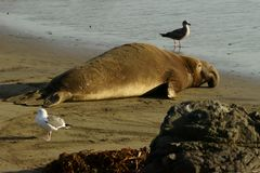 Single male elephant seal lying on a sandy beach in the evening. California, USA stock photo