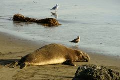 Single male elephant seal lying on a sandy beach in the evening. California, USA stock images