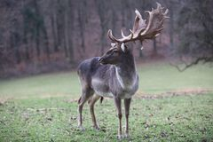 Single male Fallow Deer on the Meadow Royalty Free Stock Image