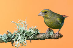 Single male Greenfinch bird perched on branch with lichen Royalty Free Stock Image