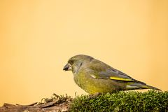 Single male greenfinch bird sits on branch covered by moss and eats seed Stock Photography