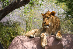 Single Male Lion On Large Rock. Young mail lion lying on a rock in the shade royalty free stock photo