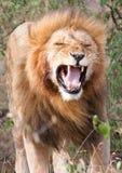 Male lion with flehmen response. Single male lion Panthera leo showing flehmen response in Maasai Mara National Park, Kenya Royalty Free Stock Image