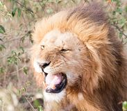 Male lion snarling royalty free stock photography