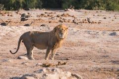 Single Male Lion. Panthera leo at waterhole in the early morning, Botswana, 2015 royalty free stock photo