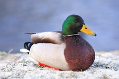 Single male Mallard Duck bird sitting on snow during a winter pe. Riod Royalty Free Stock Photo