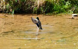 Male duck spreading wings in pond near shore. Single male mallard duck standing up in pond water spreading wings Royalty Free Stock Photography