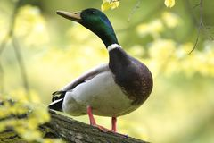 Single male Mallard Duck on a tree branch in spring season. Single male Mallard Duck bird on a tree branch during a spring nesting period Stock Images