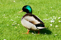 Single male mallard duck walking in grass Royalty Free Stock Images