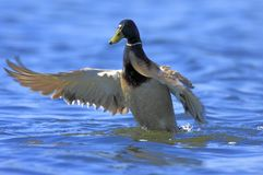 Single male Mallard duck on water surface. Single male Mallard on water surface during a spring period Stock Images